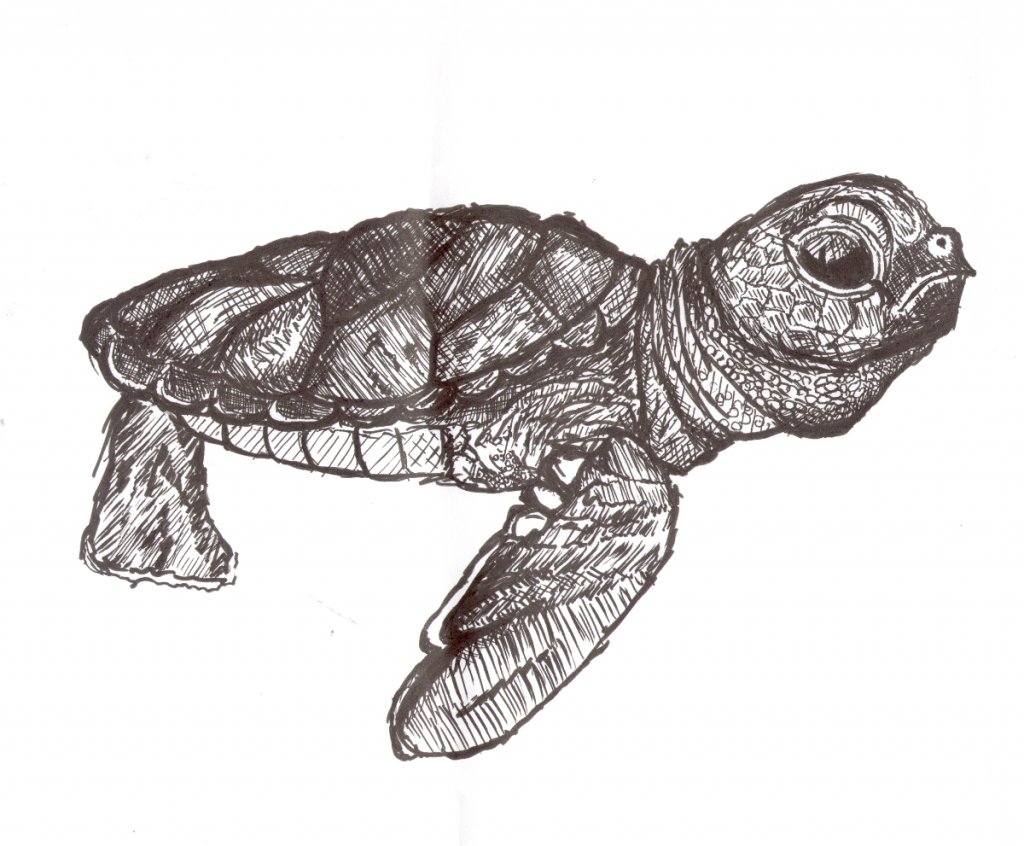 Baby Turtle Sketch